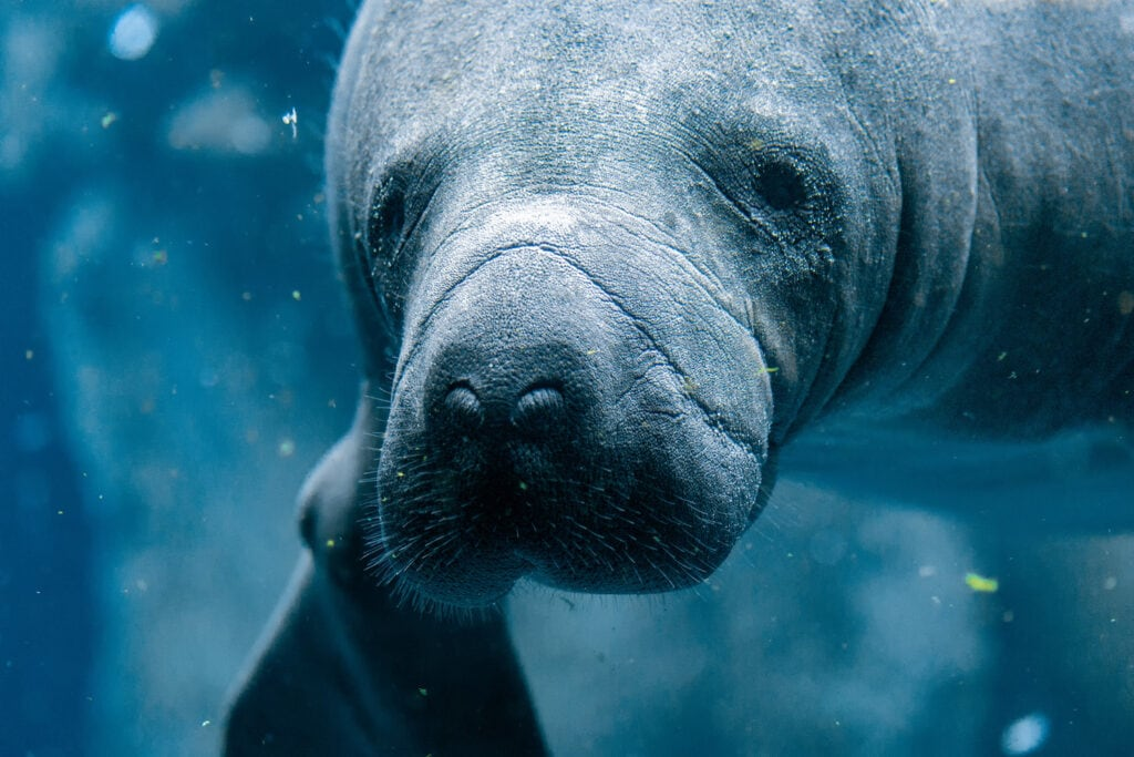 manatee close up in water