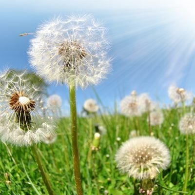 dandelion weeds sticking up out of green grass against a blue sky