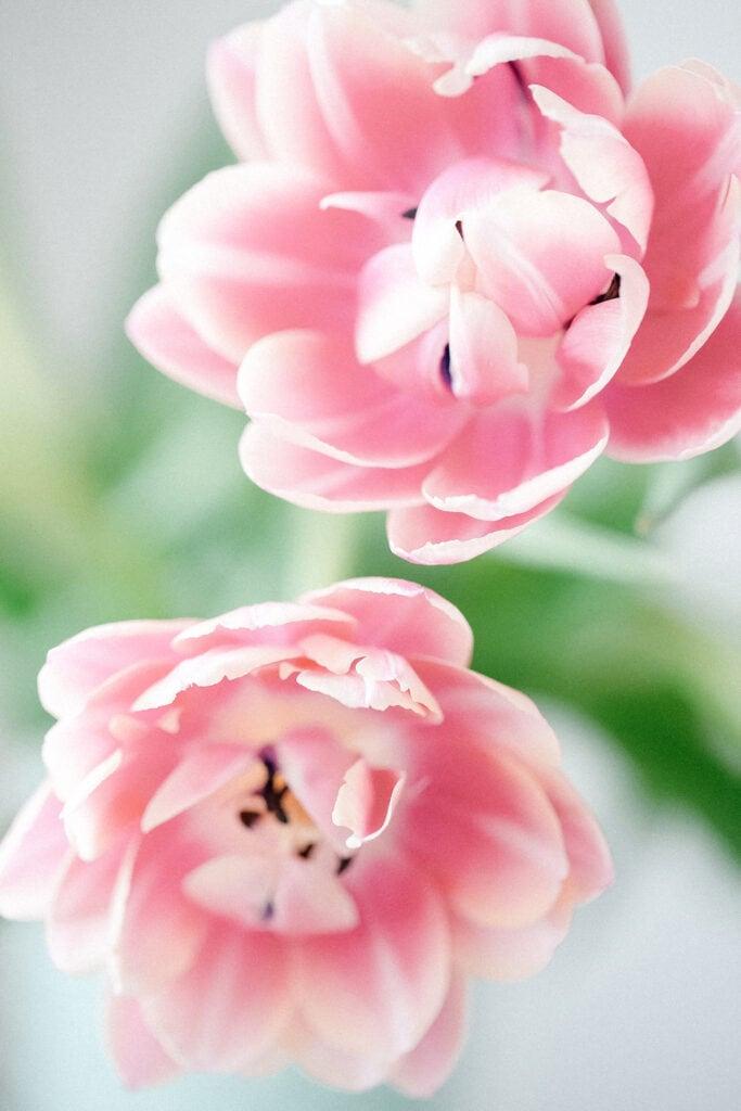 pink fresh flowers