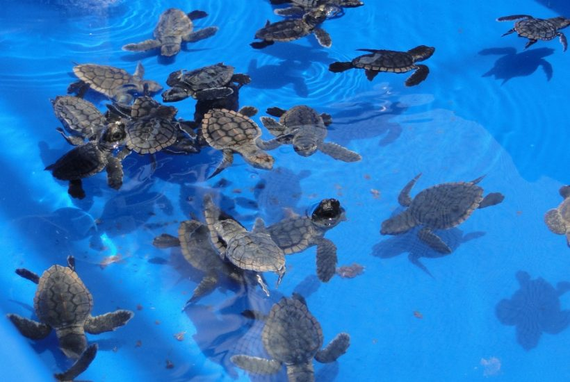 baby sea turtles in blue water