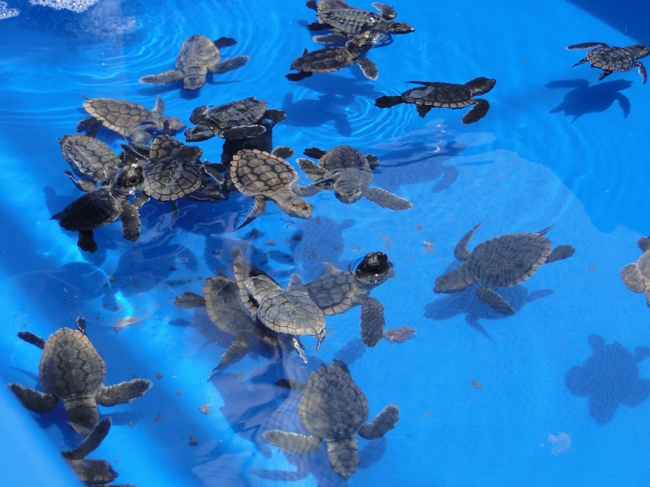 baby sea turtles in blue water