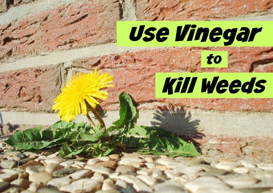 how to use vinegar to kill weeds get green be well. Black Bedroom Furniture Sets. Home Design Ideas