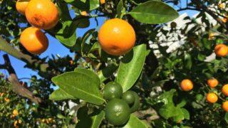 citrus tree florida orange