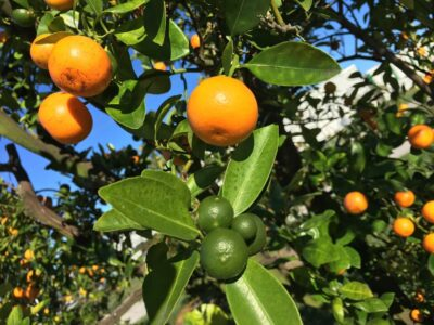 citrus tree florida orange