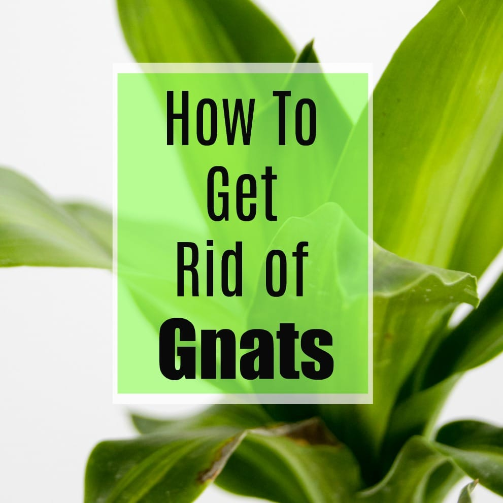 Gnats driving you crazy inside your home? Great ideas for how to kill gnats on your houseplants and in the garden. I know I'm going to try these right away!