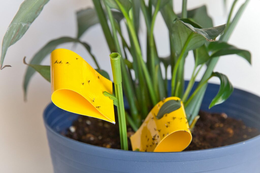 fungus gnats trap with sticky yellow tape in blue plant pot
