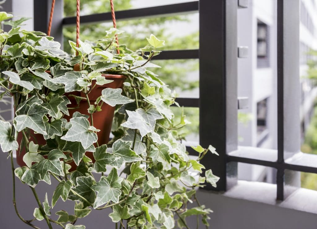 English Ivy Plant in a Pot in Bedroom