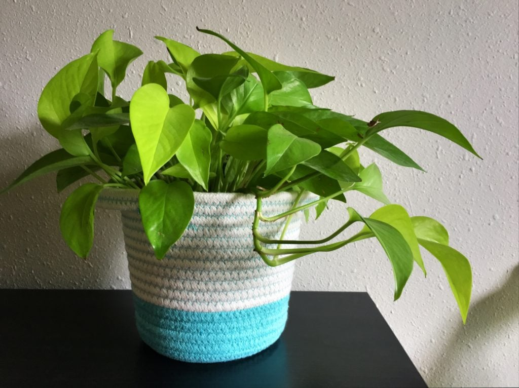 golden pothos bright green leaves in fabric basket