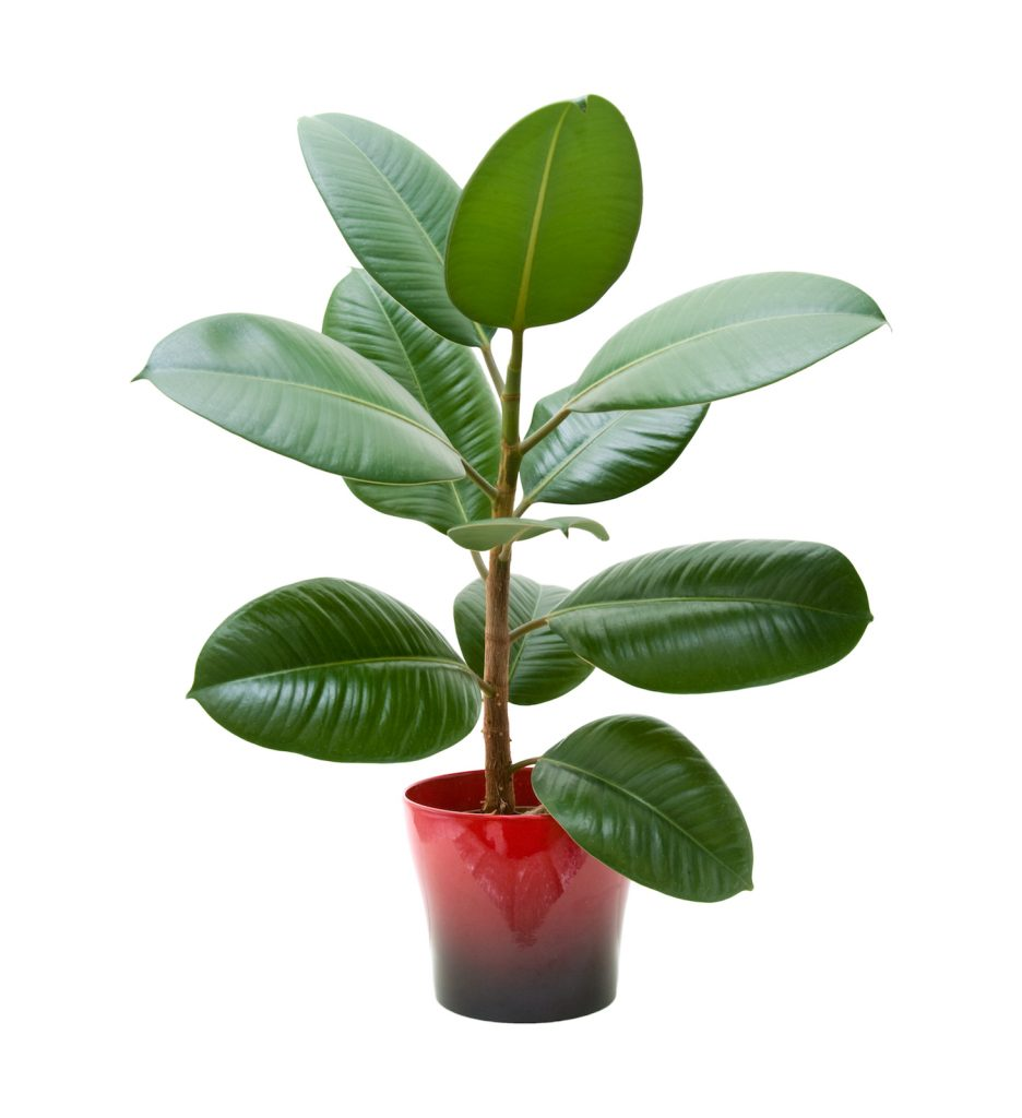 Rubber Plant tree in a red pot against white background for bedroom