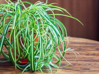 Green and White variegated spider plant in pot on a wooden table