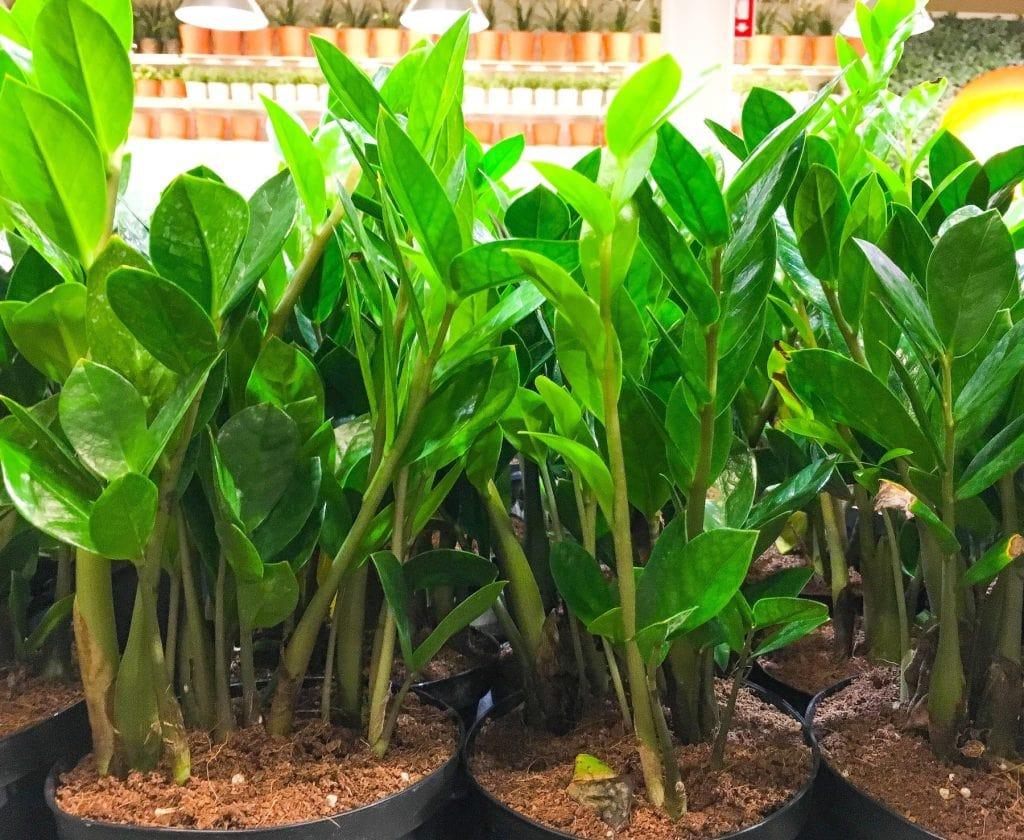 green ZZ plants in pots
