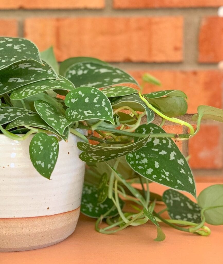 green vine plant in pottery pot against brick wall