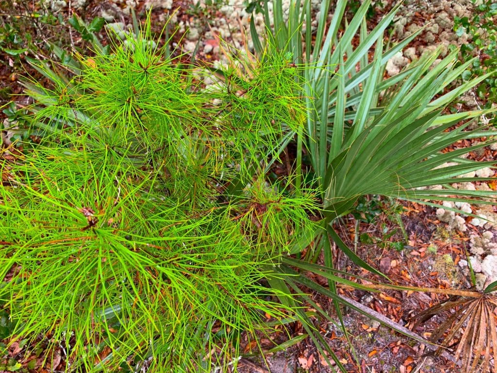 Sand Pine Tree and Saw Palmetto Ocala National Forest