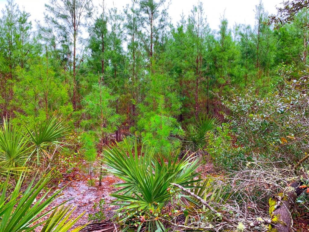 Sand Pine Trees Ocala National Forest Christmas Tree Cutting Area