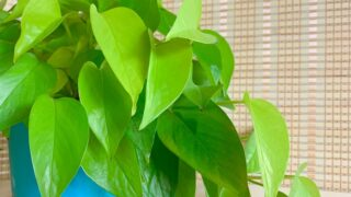 golden pothos lime green leaves in blue plastic pot indoor plants that clean air