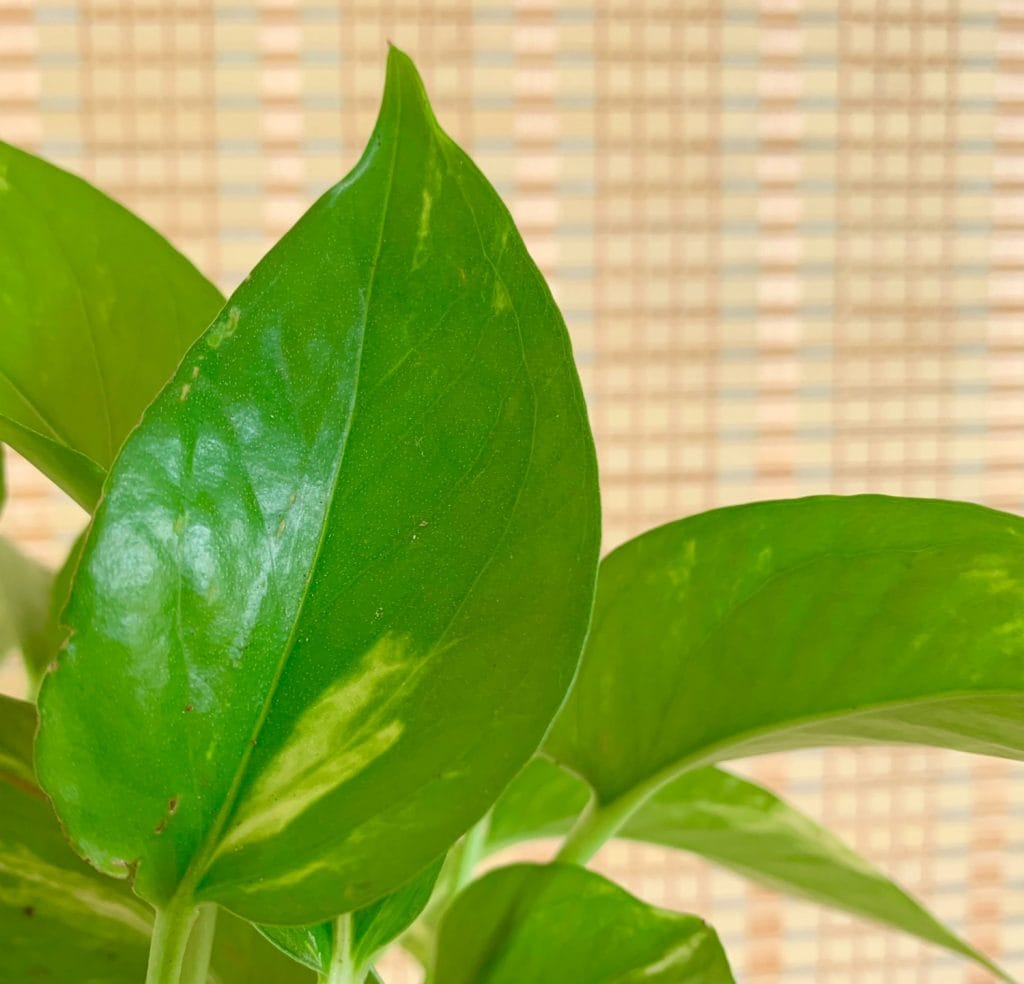 tiny pores on pothos houseplant to clean indoor air