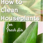 green indoor plant leaves covered in dust how to clean houseplants