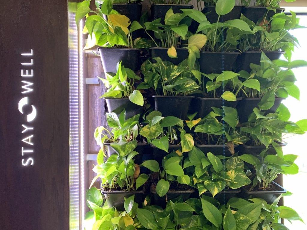 green plant wall pothos
