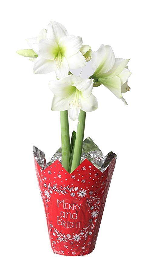 Costa Farms Christmas Amaryllis Ships in Bulb Form in Holiday Cover, 6in, Grower's Choice Red, Pink or White