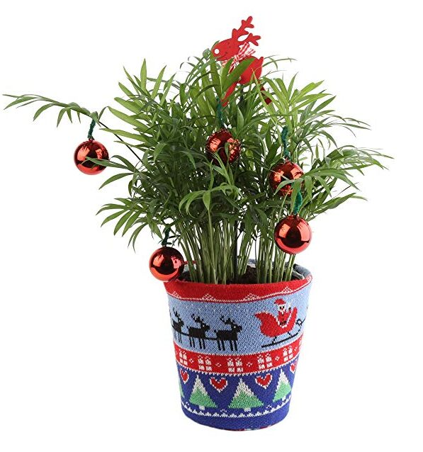 Costa Farms Live Tacky Florida Christmas Palm Tree in Ugly Christmas Sweater Planter, 14-Inches Tall, Fresh From Our Farm, Great as Holiday Gift or Christmas Decoration