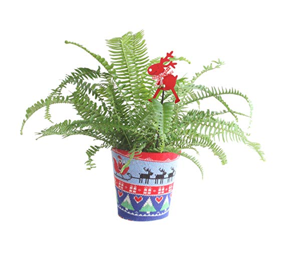 Costa Farms Fern, Live Indoor Plant in Ugly Christmas Sweater Planter, 16 to 20-Inches Tall, Fresh From Our Farm, Great as Holiday Gift or Christmas Decoration