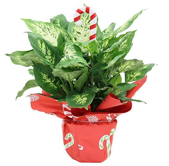 Costa Farms Dumb Cane Dieffenbachia, Live Indoor Plant Decorated in Gift, 16 to 20-Inches Tall, Holiday Wrap