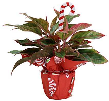 Costa Farms Chinese Evergreen, Siam Live Indoor Plant, Decorated with Christmas Gift Wrap and Candy Cane Ornament, 16 to 20-Inches Tall, Great as Holiday Gift or Christmas Decoration