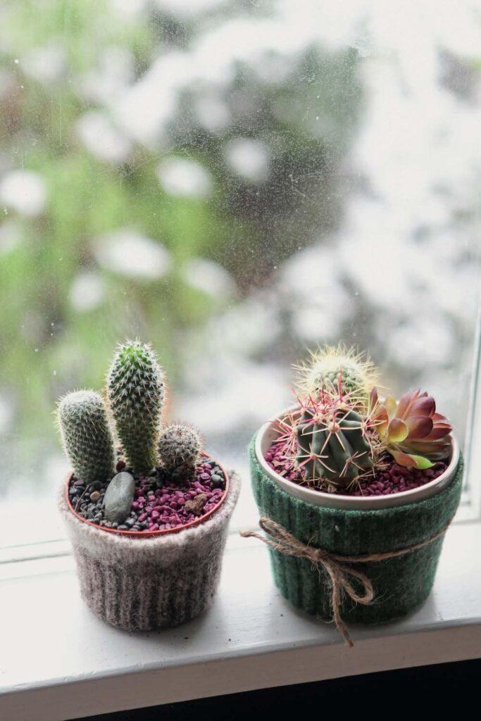 cactus succulent plants in pots on windowsill