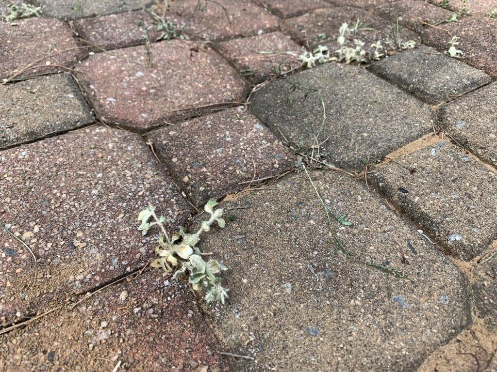 dead weeds in between bricks