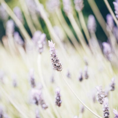 Does Lavender Repel Mosquitoes?