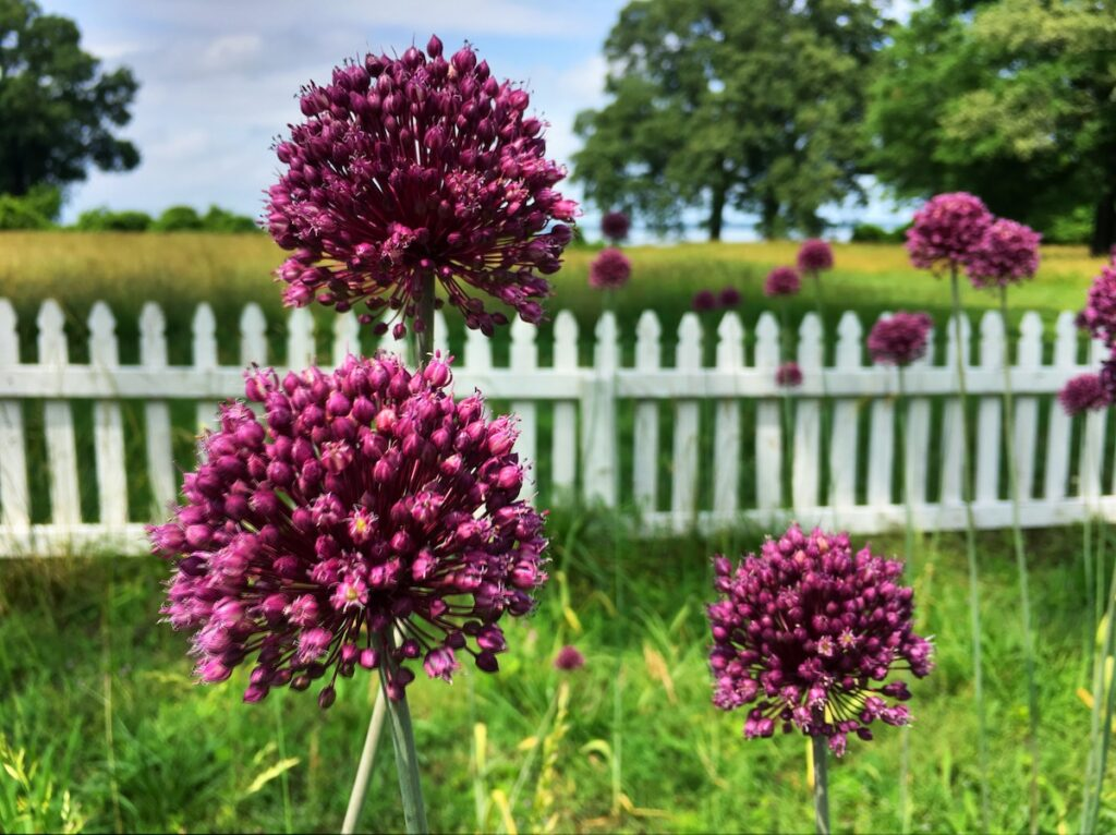 Allium Flowers in grass field