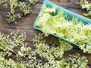 fresh elderflowers on wood table with drying racks