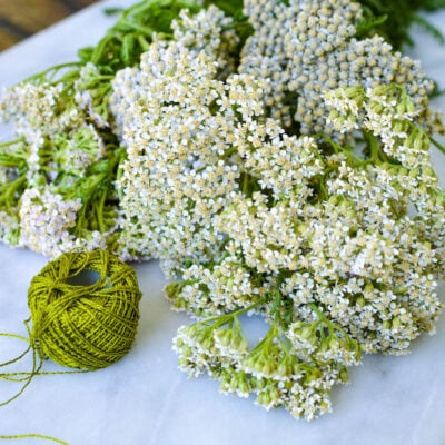 How to Forage, Harvest And Dry Yarrow